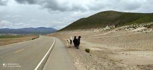 Lhamas na Bolívia